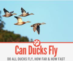 Can Ducks Fly? Do All Ducks Fly? How Far,How Fast& Long?