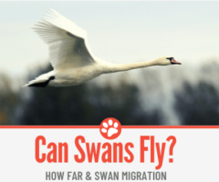 Can Swans Fly? Why & How far? +Swan Migration