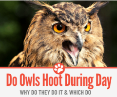 Do Owls Hoot During the Day & Why