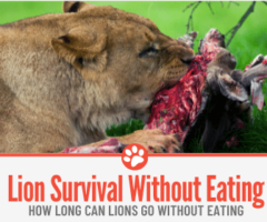 How Long Can Lions Go without Eating? How Often do they eat?