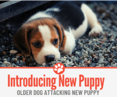 Older Dog Attacking New Puppy - Introducing New Puppy