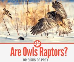 Are Owls Raptors Or Birds of Prey?